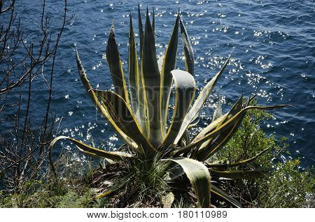 Agave americana marginata on the shore of Lake Garda