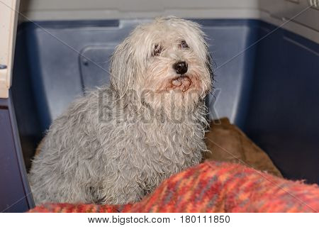 Small white dog after bathing in his dog's box - Havanese