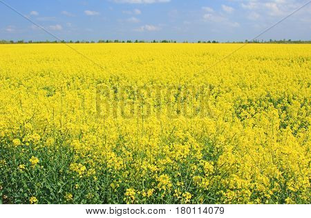 Blooming rapeseed field in front of blue sky Saxony Germany