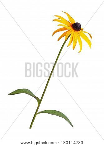 Single stem with leaves and compound yellow and black flower of a brown- or black-eyed Susan (Rudbeckia hirta) isolated against a white background