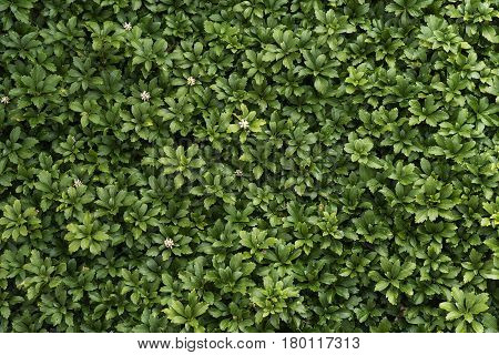 Pachysandra evergreen groundcover with small white flowers in spring as a background texture poster