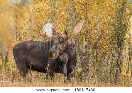 a bull shiras moose in wyoming during the fall rut