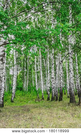 Green idyllic birch grove on a summer day