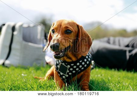 5 months old smooth brown dachshund puppy in a harness relaxing on the grass in a park, owner and bag on the background.