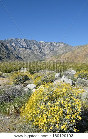 Desert Wildflowers with the San Jacinto Mountains in the background. Yellow Brittlebush (Encelia farinsoa) flowers dominate the landscape with a snow capped San Jacinto rises against a bright blue sky