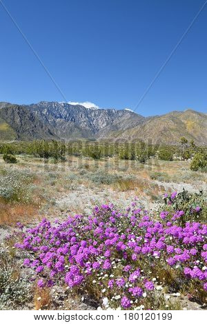 Purple desert wildflowers with cloud and snow capped San Jacinto Mountains.