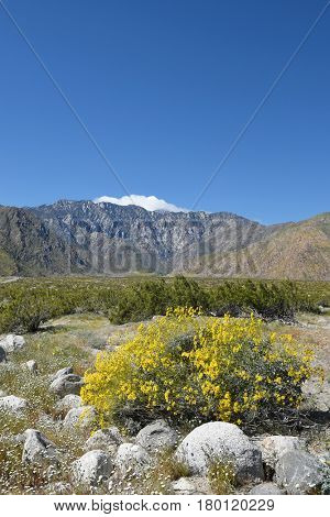 Desert Wildflowers and the San Jacinto Mountains. Yellow Brittlebush (Encelia  farinsoa) flowers dominate the landscape with a snow and cloud covered San Jacinto rising against a bright blue sky.
