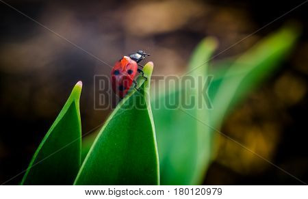 the side of wild red ladybug coccinellidae anatis ocellata coleoptera ladybird on a green grass.