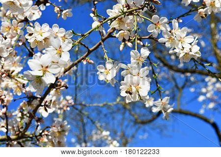 Spring tree. Beautiful flowering almond. Bluesky and white flowers.