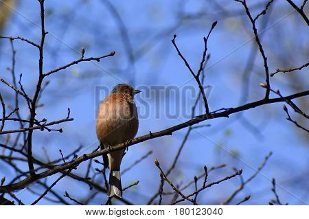 Beautiful bird on a tree branch in nature. Nuthatch. (Eurasian nuthatch)