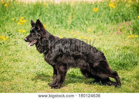 Beautiful Young Black German Shepherd Dog Sit In Green Grass. Alsatian Wolf Dog Or German Shepherd Dog On Green Grass Background. Deutscher Dog.
