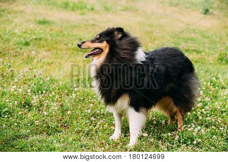 The Tricolor Rough Collie, Scottish Collie, Long-Haired Collie, English Collie, Lassie Adult Dog Staying On Green Grass