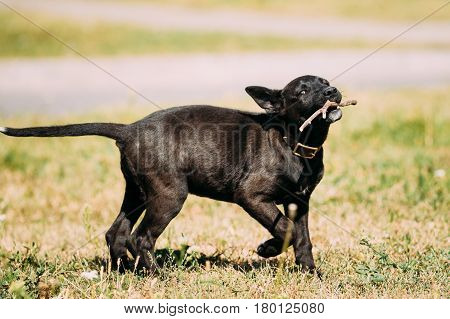 Funny Black Small Size Mixed Breed Puppy Dog Playing Outdoor With Wooden Stick In Park At Sunny Summer Day.