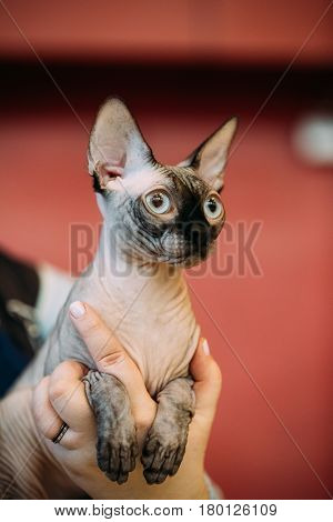 Hairess Sphynx Cat Kitten Sitting In Woman Hands. Cat Known For Its Lack Of Coat Fur.