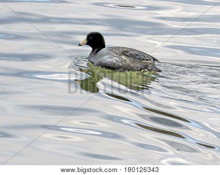 Black scoter duck on the Potomac River near Washington USA March 19 2017