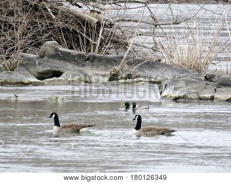 Canadian geese and ducks on the Potomac River near Washington USA March 26 2017