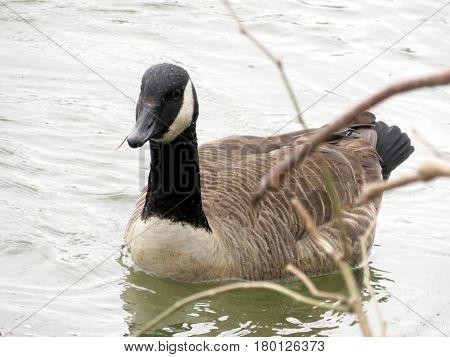 Canadian goose on the Potomac River near Washington USA March 26 2017