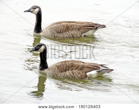 Pair of canadian geese on the Potomac River near Washington USA March 26 2017