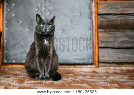Russian Blue Cat Kitten With Green Eyes Resting On Porch Of An Old Village Rustic House.