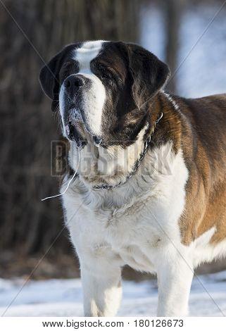 A St. Bernard dog in the winter