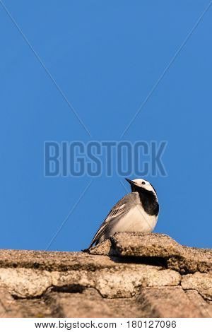 Nice Portrait Of Wagtail Bird