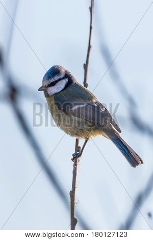 Portrait Of Nice Blue Tit Bird Which Sits On Branch