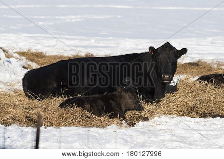 A Black Angus cow and calf in the winter