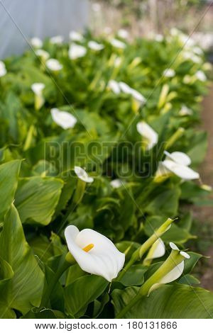 White Calla Flower With Flowers In The Background In Greenhouse