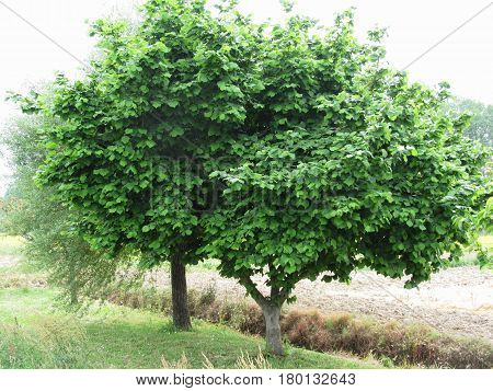 Hazel tree with green leaves in spring . Tuscany Italy