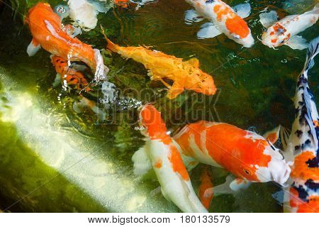 Colorful fish or fancy carp freshwater fish of the carp Fancy carp or Koi fish swimming at pond in the garden