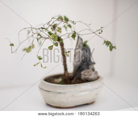 Little bonsai tree on the shelf