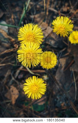 Beautiful yellow flowers of coltsfoot in spring forest, vertical photo, top view