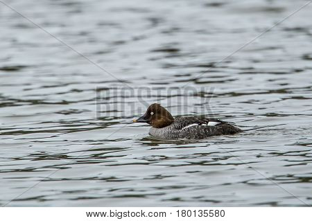 Female goldeneye in choppy water in Hauser Lake in north Idaho.