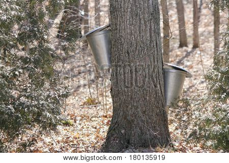 Metal sap bucket attached to a maple tree to catch sap drippings for making maple syrup in early Spring.
