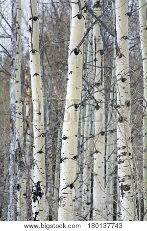 aspen trees in the winter time in the wasatch mountain range
