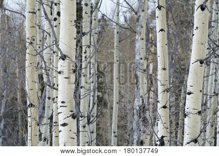 aspen trees in the winter time in the wasatch mountain range in utah