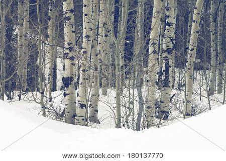 aspen trees in the wasatch mountains during winter time