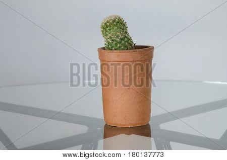 Cactus in a pot. Prickly indoor flower
