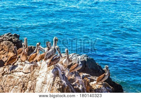 Brown pelicans sitting on the rock with sea background in Vina del Mar Chile
