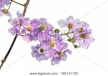 Fresh Purple Flower Isolated On White Background