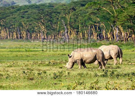 A pair of white rhinoceros or Ceratotherium simum grazing in national park Lake Nakuru, Kenya