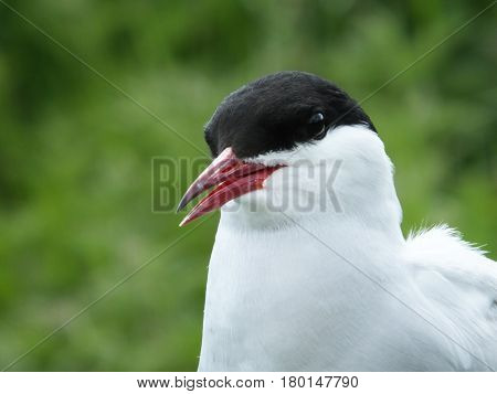 Close up of an arctic tern during the breeding season