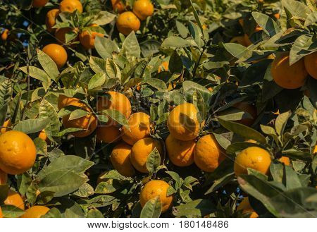 Orange tree plague. Branch of an orange tree with many affected fruits, Citrus aurantiumen. Bitter orange.