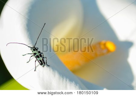 Closeup macro of Eutetrapha lini longhorn beetle from Taiwan sitting on a calla lily flower