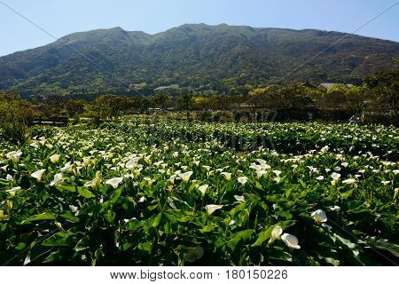 Beautiful spring flowering landscape at the Zhu Zi Hu Calla Lily Festival in Taiwan