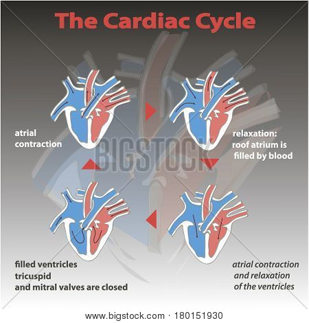 The cardiac cycle of heart on gradient background isolated. heart circle education vector info graphic.