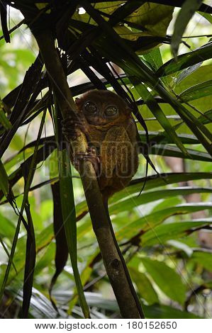 The Tarsier is the smallest monkey in the world.
