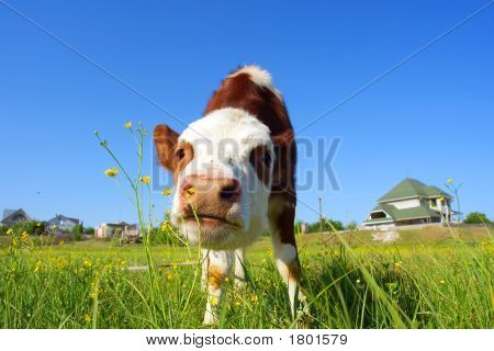 Cute bull-calf smells wild flowers in front of a house - focus on nostrils. Shot in Ukraine. poster