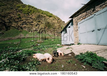 Four Household Pigs Resting On Ground In Dirt In Yard Of Village House. Pig Farming Is Raising And Breeding Of Domestic Pigs. Pigs Are Raised Principally As Food Pork, Bacon, Gammon .