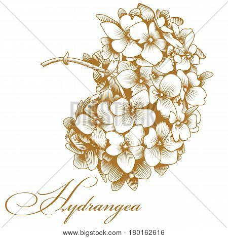 Golden hydrangea flower, floral hydrangea flower, blooming hydrangea flower, botanical hydrangea flower, wedding hydrangea flower beaty hydrangea flower. Vector.